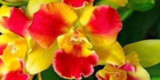 """Orchidea Potinara """"Burana Beauty"""""""