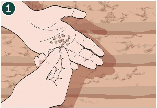 1. I semi delle insalate sono molto piccoli, al momento della semina è quindi necessario miscelarli con un po' di sabbia: per facilitare quest'operazione inserire i semi in un contenitore più grande e miscelare alla sabbia. Il seme va distribuito con continuità nella fila. Impiegare da 3 a 5 grammi di seme per ogni metro quadrato (sulle bustine dei semi è indicato il peso dei semi contenuti).