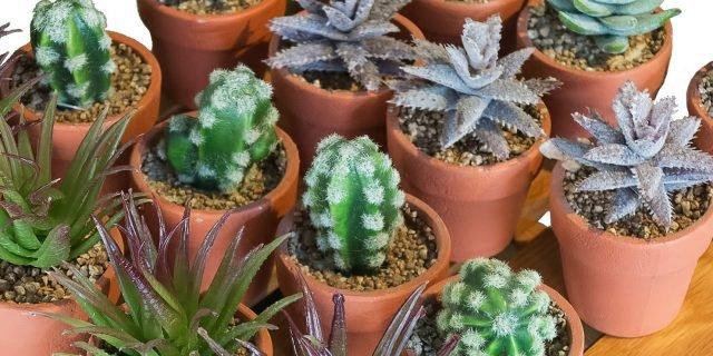 Curare le piante grasse