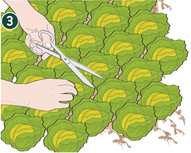 3. Tagliare l'insalata con una forbice ben affilata a 1 - 2 cm dal suolo. Dopo il taglio annaffiare abbondantemente: l'insalata rivegeta rapidamente ed è presto pronta per un nuovo taglio.