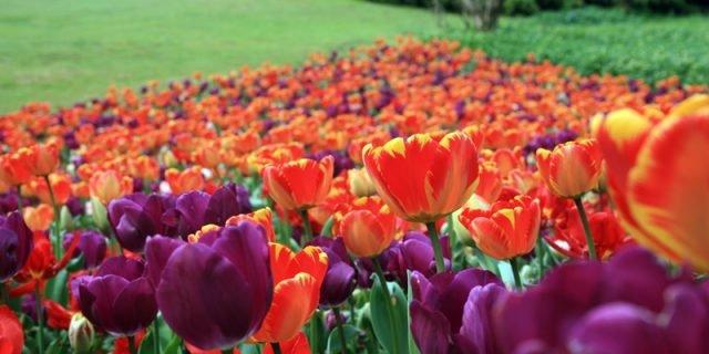 La stagione dei tulipani