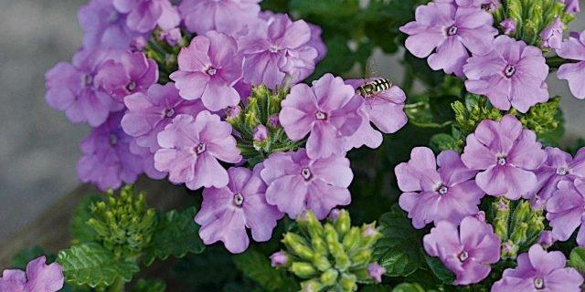 Preparare una ciotola fiorita con edera e verbena