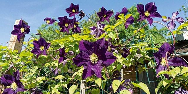 Piantare le clematis in giardino