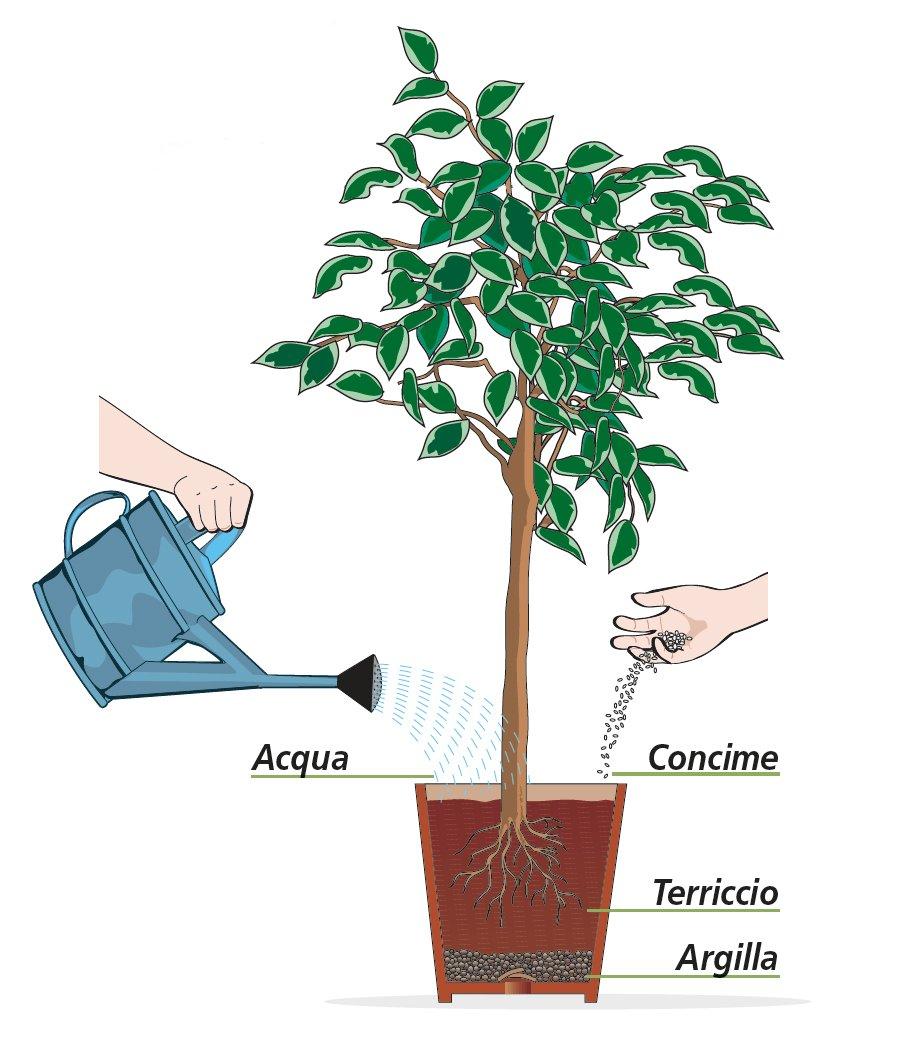 Potare Il Ficus Elastica curare il ficus benjamin durante tutto l'anno - cose di casa