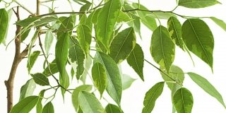Prendiamoci cura del Ficus benjamin