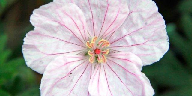 Geranium sanguineum variegatum – Geranio sanguigno variegato