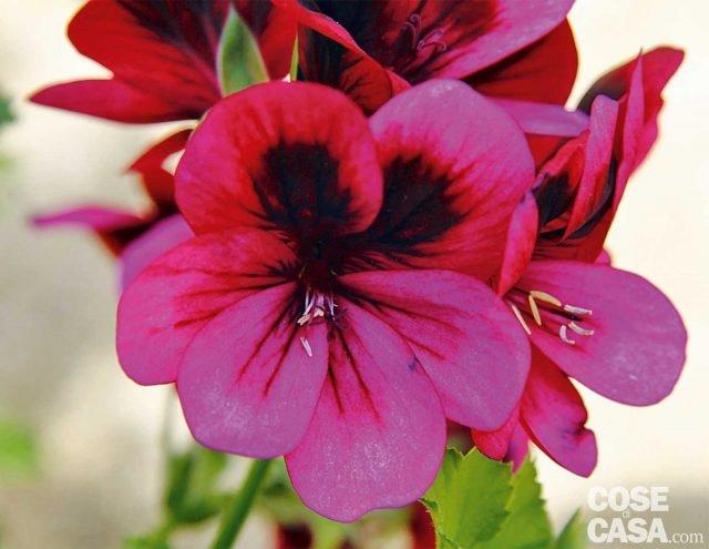 Fra i gerani a foglia odorosa capaci di produrre anche fioriture interessanti vi proponiamo Ashby dal portamento espanso con fiori color viola dalla macchia scura dal profumo di resina. Il fiore semplice e piccolo è leggero e delicato.