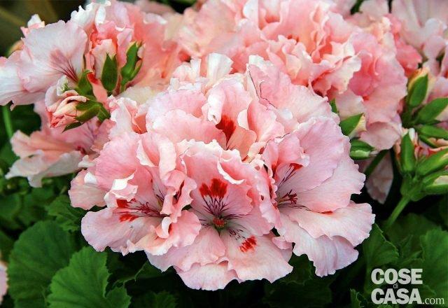 Fra i gerani imperiali o macranta, Pelargonium macranthum o P. grandiflorum, che non hanno la rifiorenza dei zonali o dei parigini ma hanno fiori grandi e vistosi, in colorazioni inedite per le altre specie, provate Chiavari. Con i fiori in forma di azalea di colore rosa salmone con macchie interne rosse rende questa varietà è apprezzata per l'eleganza e la ricercatezza dell'abbinamento di toni.
