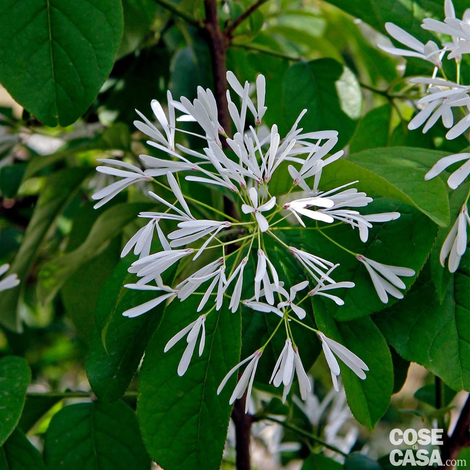 Cespugli Sempreverdi Con Fiori gli arbusti insoliti come forsizia bianca, rovi e esotiche
