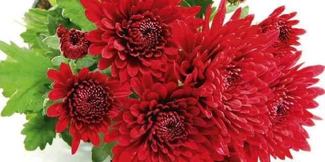 Moltiplicare i crisantemi per talea