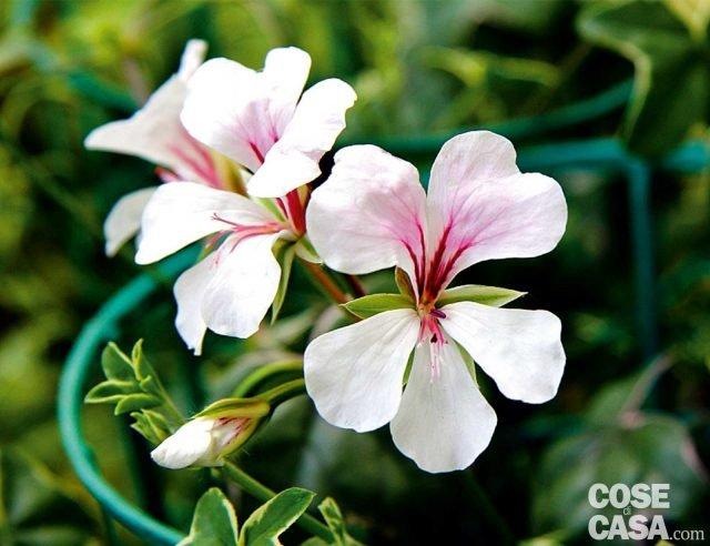 """""""L'elegante"""" è una bella varietà di Pelargonium peltatum o geranio edera, con fiore bianco semplice dalle venature colorate e foglie con una marginatura bianca crema sottile lungo tutto il margine che sottolinea la fioritura. Le foglie sono carnose e la fioritura inizia solo all'inizio dell'estate ma si protrae fino all'autunno."""