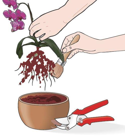 1. Dopo aver estratto la pianta dal contenitore si puliscano con cura le radici dalle incrostazioni e dai residui di terriccio. Si usi un pennello morbido per non rischiare di essere troppo invasivi. Si rimuovano anche le parti danneggiate o morte con cesoie da giardino.