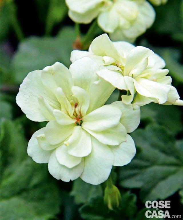 """Il geranio giallo ha rappresentato un po' quello che è stato per la rosa nera o il tulipano blu, una sorta di chimera irraggiungibile. Oggi chi desidera una pianta particolare potrà scegliere """"First Yellow"""". È l'unica varietà fino ad ora in commercio a fiori indiscutibilmente gialli. La pianta ha portamento compatto, internodi corti e foglie numerose con lunghi peduncoli."""
