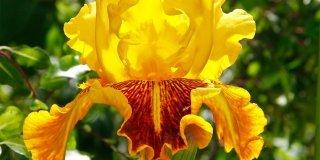 "Iris ""Dazzling gold"""