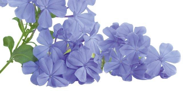 Lantana e Plumbago: fiorite da giugno a ottobre