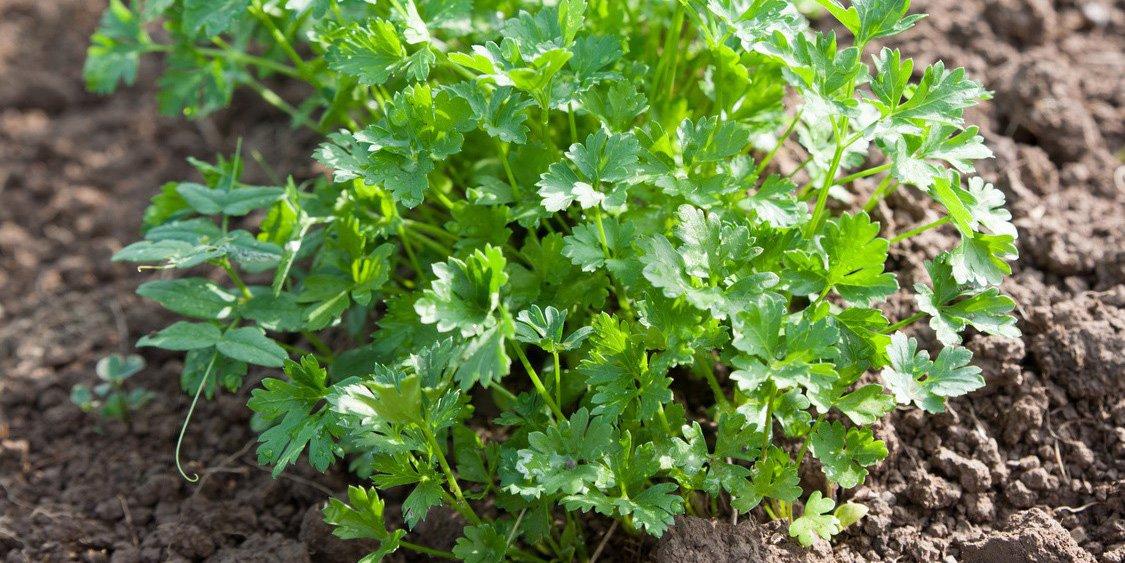 Coltivare le erbe aromatiche nell orto cose di casa - Coltivare piante aromatiche in casa ...