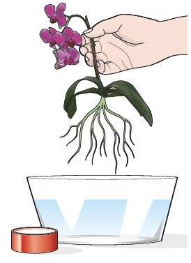 2. S'immerga l'apparato radicale per qualche minuto in una soluzione a base di acqua e prodotto fungicida, così da evitare o debellare eventuali malattie fungine.