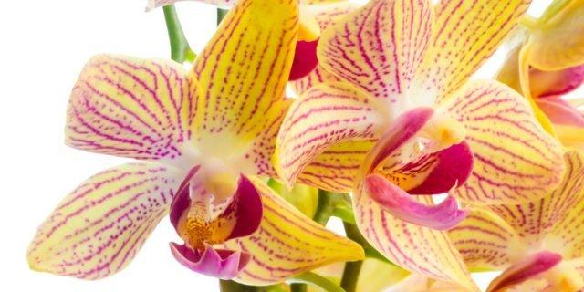 Rinvasare le orchidee troppo cresciute
