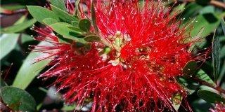 Callistemon citrinus rosso
