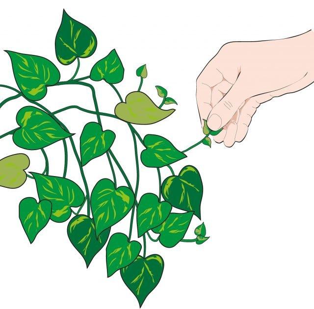 1. Per ottenere uno sviluppo compatto e cespuglioso, cimare gli apici vegetativi.