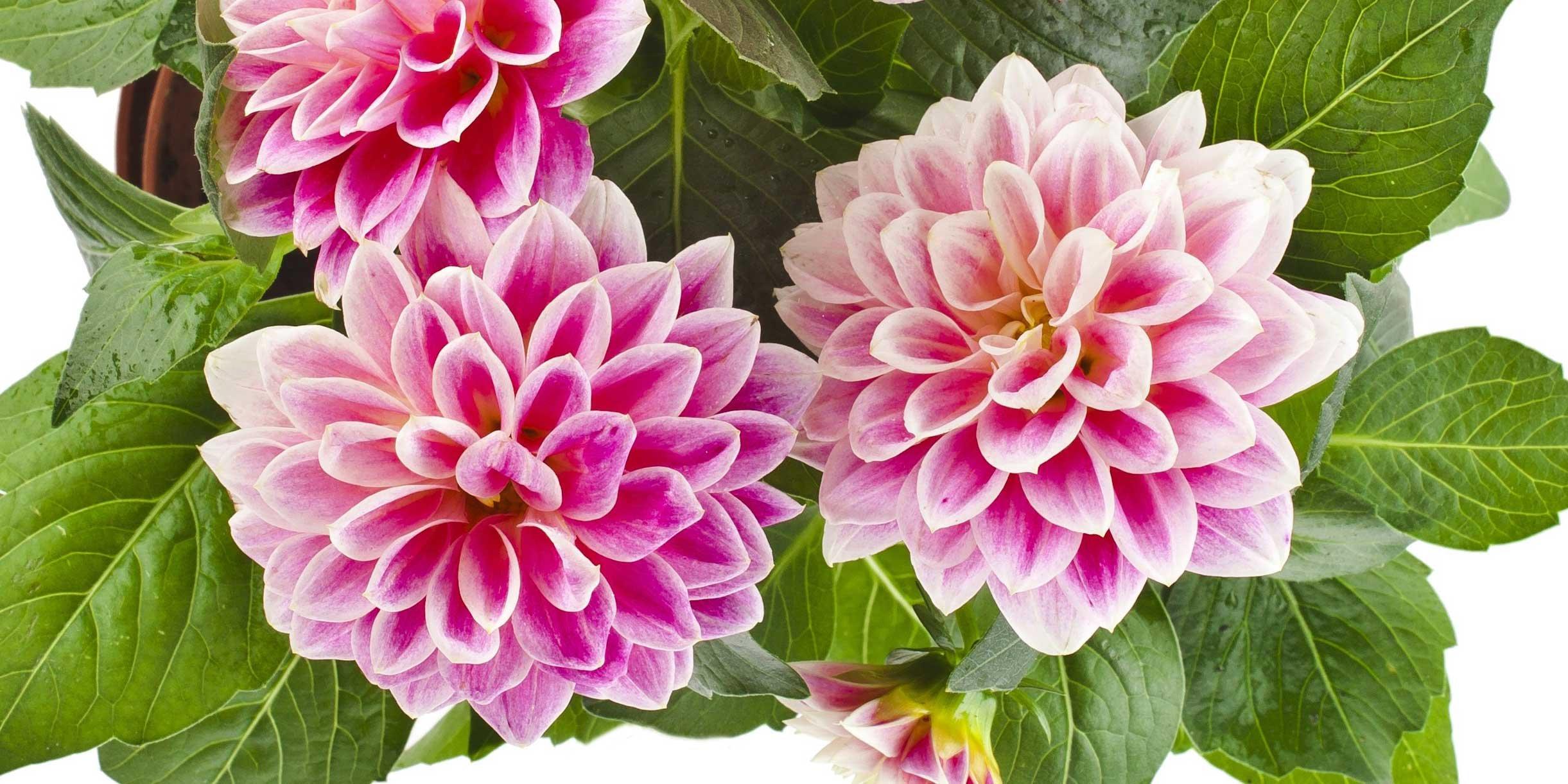 Fiori Che Amano Il Sole coltivare le dalie a giugno: diradamenti, cimature - cose di