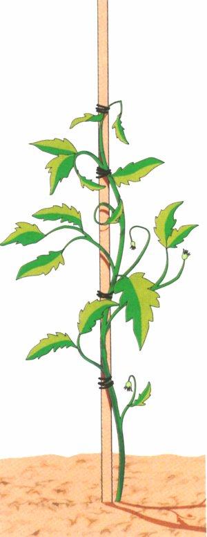 I pomodori hanno la necessità di un tutore singolo per pianta (basta una canna di 60 cm) che deve essere infisso ad almeno 20 cm di profondità nel terreno. Legare poi con il filo plastificato il fusto al sostegno, senza stringere troppo in modo da non impedire al fusto di ingrossarsi.