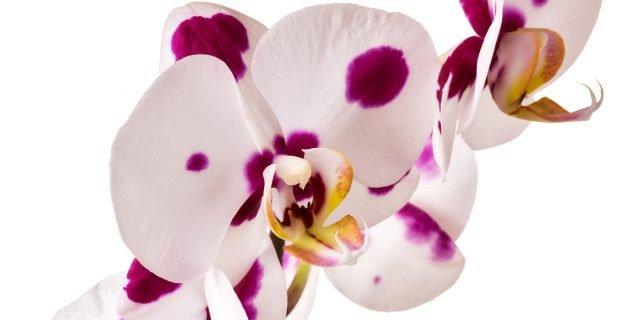 Curare le orchidee sfiorite