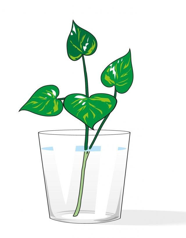 2. Prelevare talee apicali di fusto e sistemarle in un recipiente colmo d'acqua. Quando la talea avrà ben radicato, rinvasarla in un vaso di piccole dimensioni con terriccio universale.