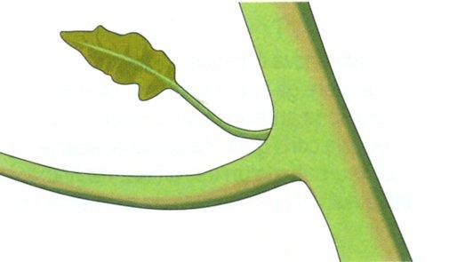 I getti che si formano all'ascella dei rami vanno eliminati prima che raggiungano i 10 cm di lunghezza.