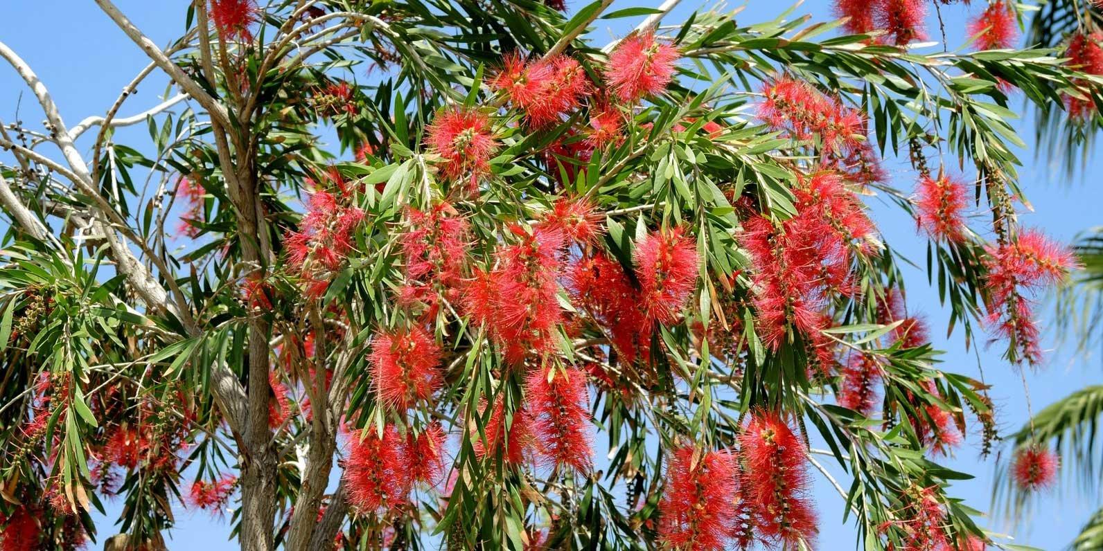 Callistemon l arbusto adatto per il giardino al mare for Cose per il giardino
