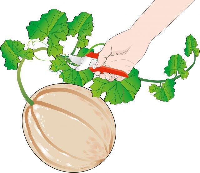 2. La cimatura in presenza dei frutti