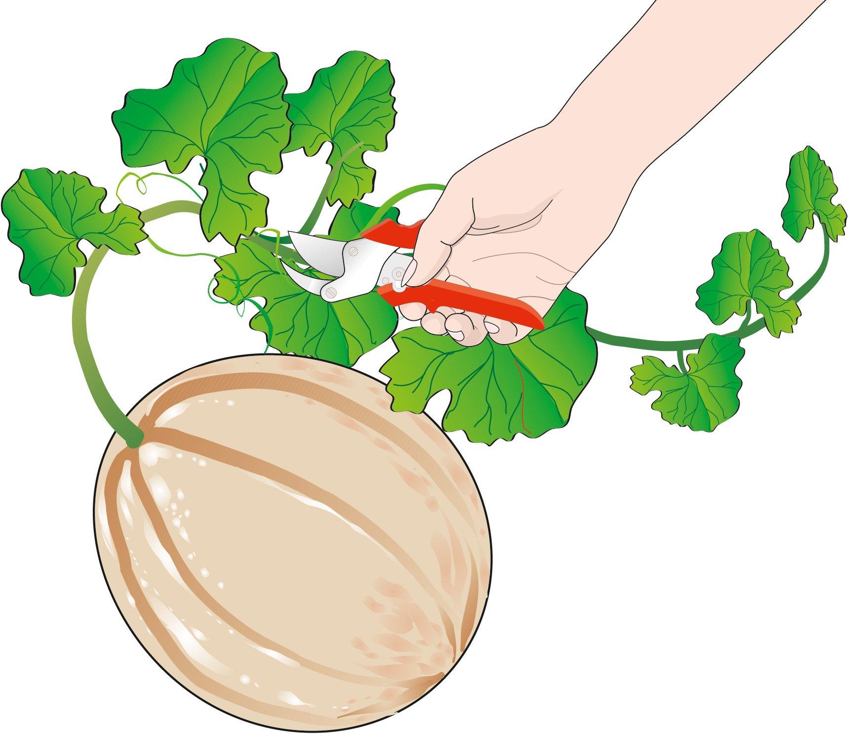 Il melone si pu coltivare nell orto cose di casa for Coltivare meloni