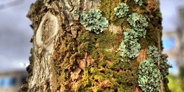 Togliere i licheni dai tronchi degli alberi