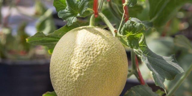 Il melone si può coltivare nell'orto