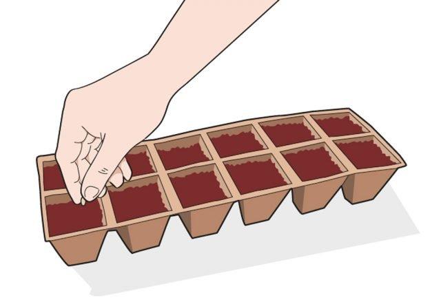 L'ideale è scegliere un contenitore alveolare, disponendo 1-2 semi per ogni alveolo. In tal modo si favorisce la crescita uniforme delle piantine e si semplifica il successivo lavoro di trapianto. Con temperature medie comprese tra 18 e 22 °C la germinazione del seme avviene in 6-8 giorni.