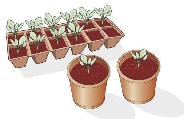 Quando le piantine di cavolo ornamentale sono ben strutturate, alte circa 4-5 centimetri e con 4-6 foglie ben sviluppate, ovvero circa tre settimane dopo la germinazione del seme, si trapiantano in vasetti singoli, di diametro compreso tra 12 e 14 centimetri, utilizzando un substrato ben drenante, formato per due terzi da terriccio torboso e per un terzo da terra di campo fertile e ben setacciata. La coltivazione delle giovani piante avviene all'aria aperta, con un telo di plastica antigrandine e solo leggermente ombreggiante.