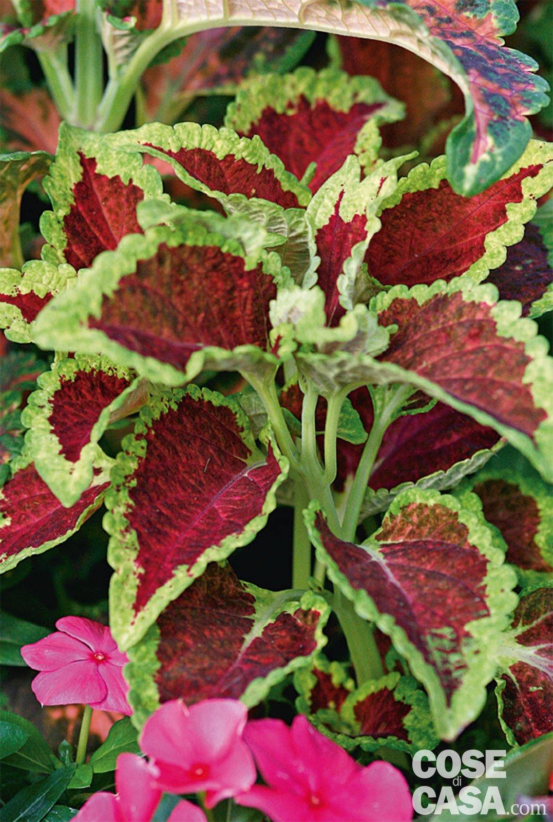Pianta Foglie Rosse E Verdi coleus blumei - coleus: cure pianta, riproduzione - cose di casa