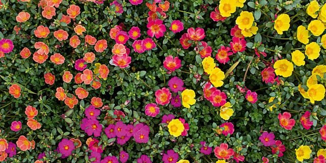 Portulaca: fiori facili e colorati