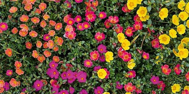 Portulaca: fiori facili e colorati
