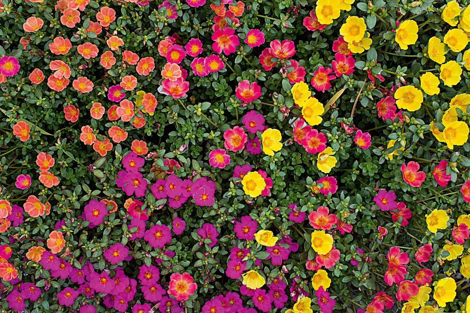 Portulaca: fiori facili e petali colorati e vivaci - Cose di Casa