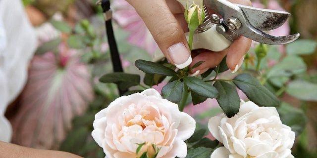 Moltiplicare le rose per talea