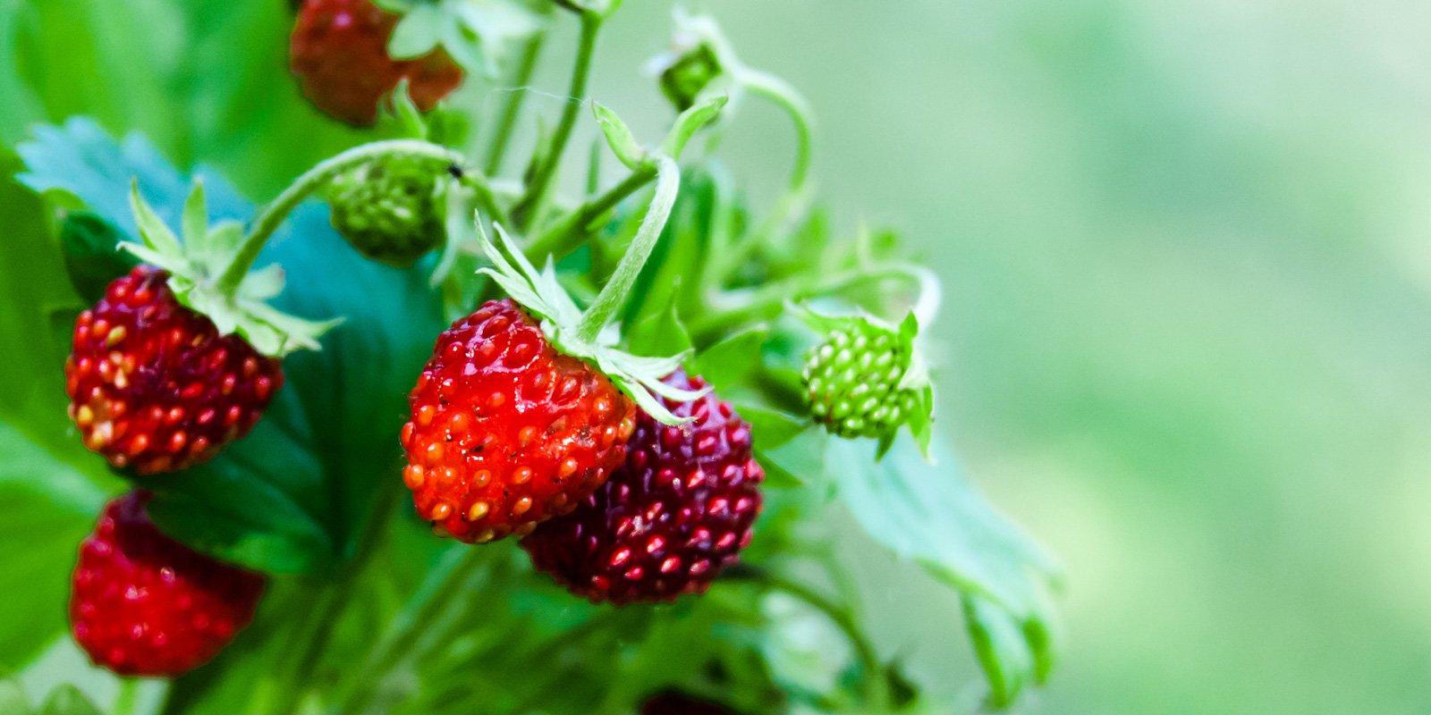 Coltivare Lamponi In Vaso coltivare la frutta in vaso: scelta piante e vasi per dimora