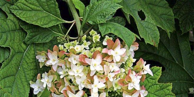 Ortensia cose di casa for Ortensia quercifolia