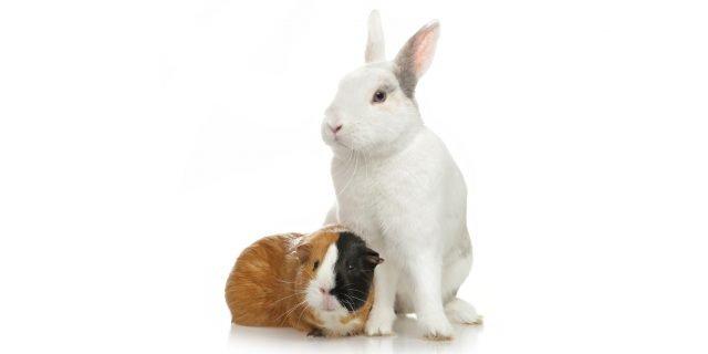 Capire il linguaggio di coniglio, criceto e cavie