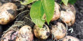 Nell'orto è ora di raccogliere le patate