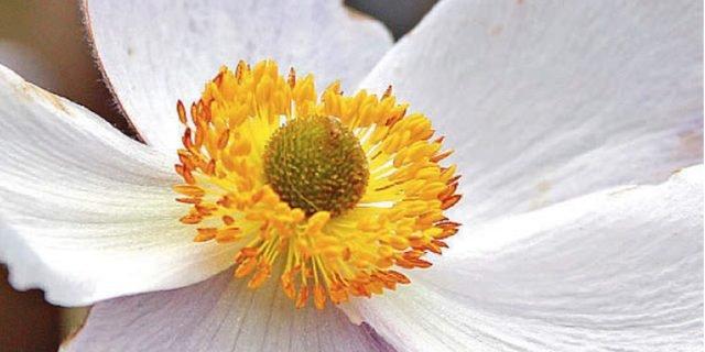 Anemone x hybrida 'Elfin Swan' – anemone giapponese