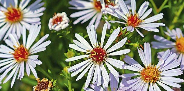 La cassetta fiorita con anemoni e astri
