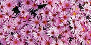 fiori autunnali Aster ericoides