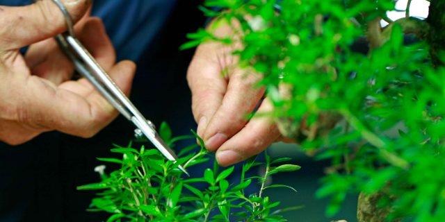 Curare i bonsai mini-piante preziose