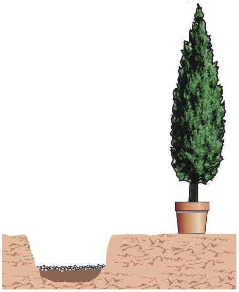 2. Per piantare un cipresso, si posiziona la pianta al centro della buca, in posizione verticale, facendo attenzione a tenerla ben dritta, e si riempiono gli spazi rimasti vuoti attorno alla pianta, con terriccio universale, fino a colmare la buca. Il terreno attorno al colletto va ben pressato, con i piedi. Quindi si irriga, in modo da assestare bene il tutto. Per favorire l'assorbimento dell'acqua, anche nelle future irrigazioni, è bene creare una conca poco profonda attorno al colletto della pianta.